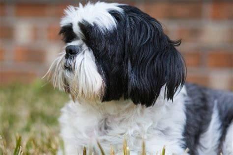 cava shih tzu cava tzu information and photos thriftyfun
