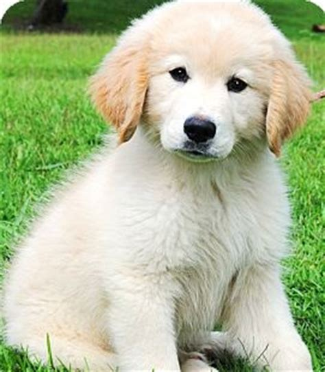 golden retriever puppies adopt where to adopt golden retriever puppies assistedlivingcares