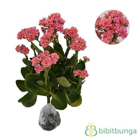 Tanaman Pink tanaman pink calandiva jual tanaman hias