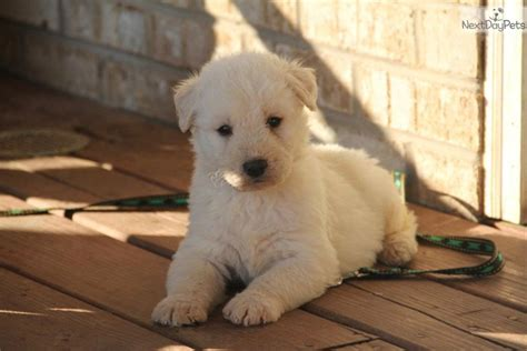 puppies for sale in bowling green ky dogs and puppies for sale and adoption oodle marketplace