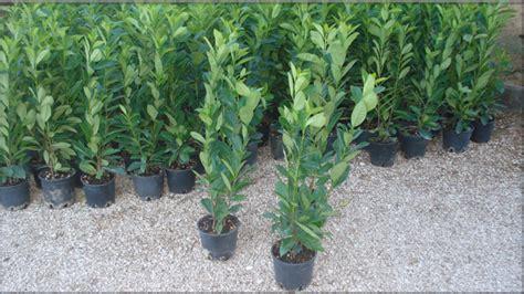 piante alte da vaso piante da siepe lauro cerasus alte 2 metri