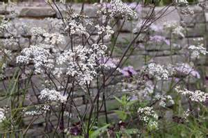 Tiny Cottage Anthriscus Sylvestris Ravenswing Gardenersworld Com