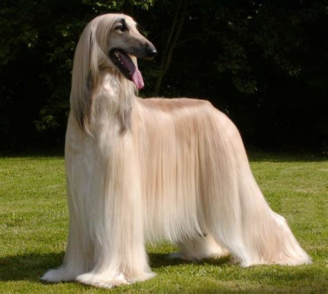afghan breed the afghan hound