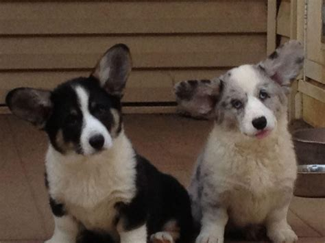 corgi puppies for sale nj cardigan corgi puppies for sale nj zip sweater
