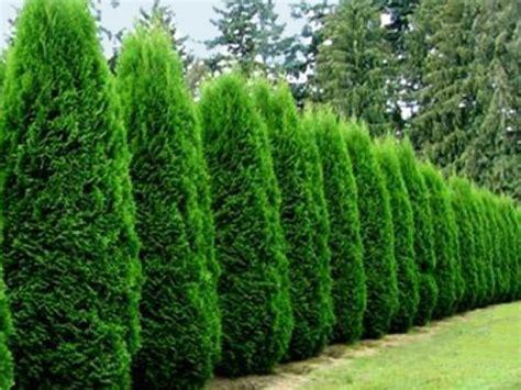 20 absolute smaragd emerald green arborvitae tree wallpaper cool hd