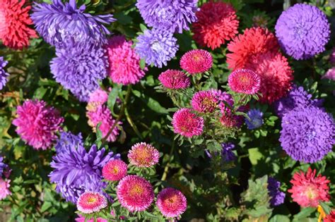 aster fiori asters flowers astra 183 free photo on pixabay