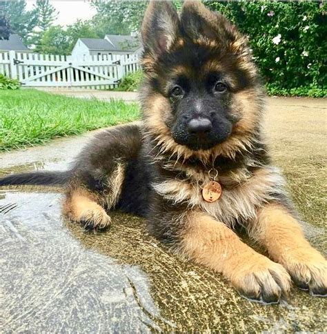 fluffy german shepherd puppy best 20 fluffy puppies ideas on