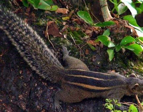 Picture 3 of 4 - Indian Palm Squirrel (Funambulus Palmarum ...