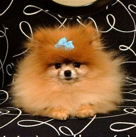 pomeranian service 734 best images about huskies poms poodles on poodles huskies puppies