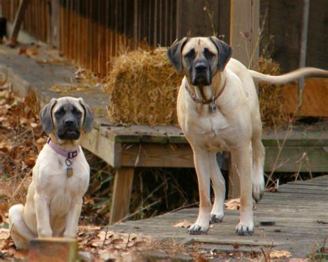 mastiff puppies mastiff dogs in the farm photo and wallpaper beautiful mastiff dogs