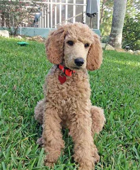 royal poodle lifespan quot nico quot click here is at home in deltona fl i m one of
