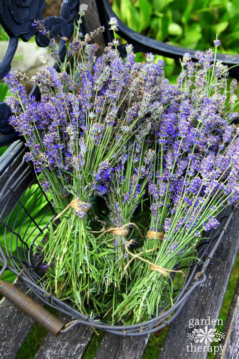 harvesting english lavender how to use it garden therapy