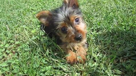 teacup yorkie for sale in missouri small puppies for sale breeds picture