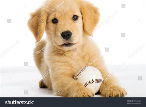 show me pictures of baby golden retrievers golden retriever puppy baseball stock photo 79692286