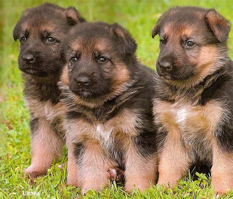 how to care for a german shepherd puppy german australian shepherd info temperament care puppies pictures