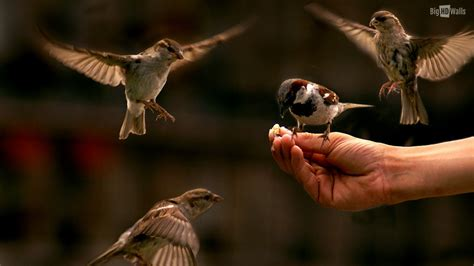 feeding the sparrows hd wallpaper bighdwalls