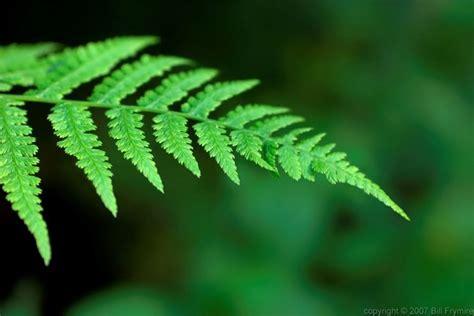 felce da vaso felci piante da giardino felci arbusti