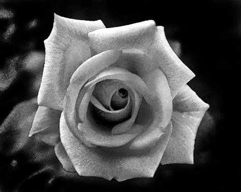 Corsage Black Grey black and grey search flowers roses grey and search
