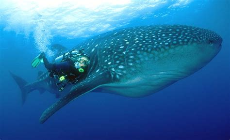 dive with whale sharks 5 best places to dive in the world according to padi