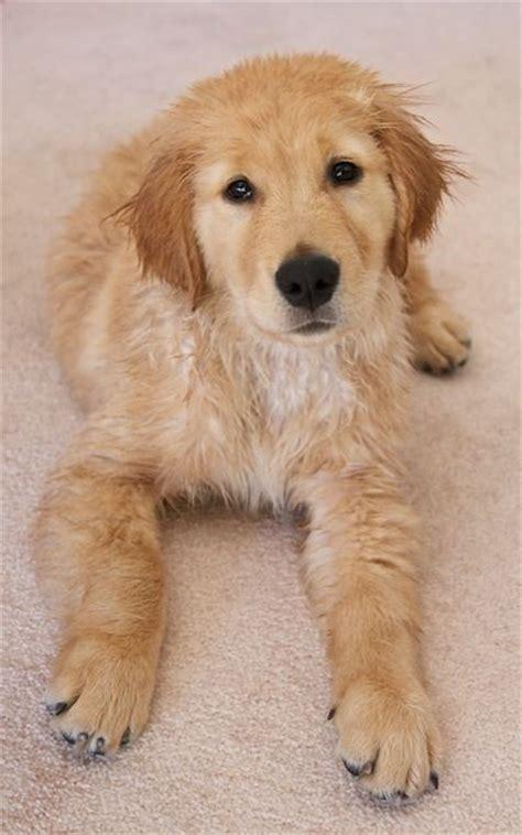 golden retriever bath 71 best images about kngf geleidehonden on lab puppies puppys and