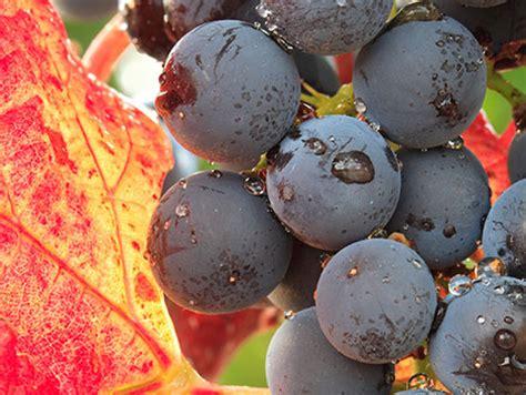 imagenes uva garnacha el renacimiento de la garnacha en espa 241 a spanish wine lover