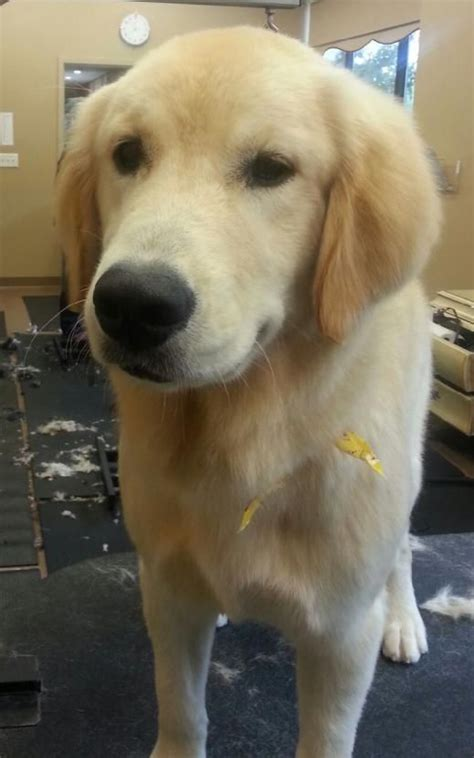 how bad do golden retrievers shed golden retriever haircut furbabies