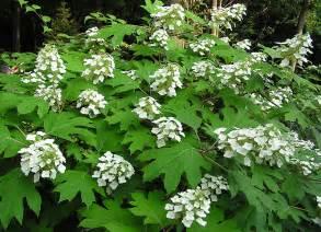 Climbing Hydrangea Planting - oakleaf hydrangea 171 master gardeners of hamilton county tn