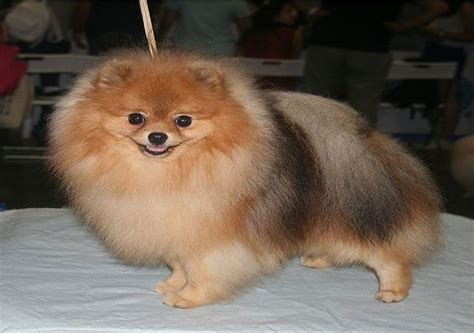 everything you need to about pomeranians teddy pomeranian cut breeds picture