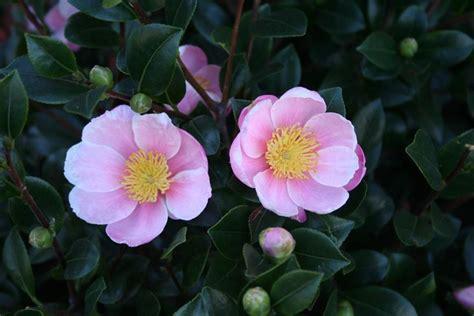 immagini fiori di primavera fiori di primavera fiori in giardino