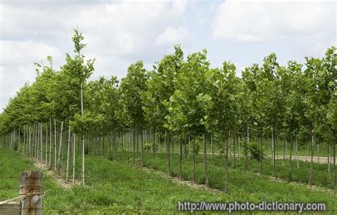 tree farm photos maple tree farm photo picture definition at photo