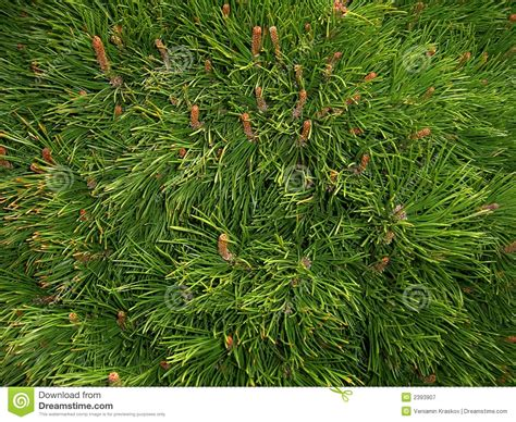 pine needle texture stock image image  green detail