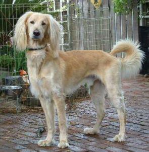 afghan hound golden retriever mix afghan hound retriever mix on curezone image gallery
