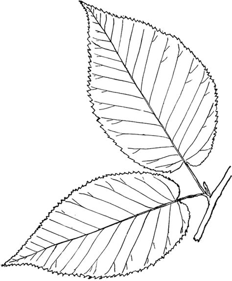 birch leaf coloring page birch leaf clipart clipground