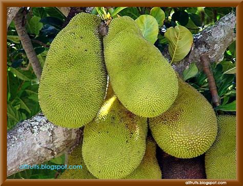fruit that starts with j fruits name starts with the letter quot j