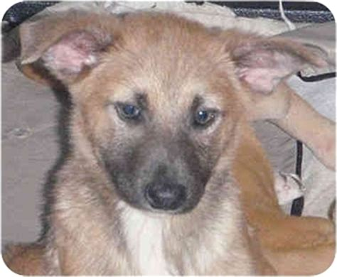 shiba inu puppies houston adopted puppy 313 houston tx shiba inu keeshond mix