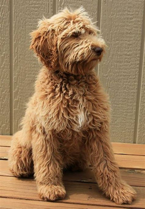 mini goldendoodles reviews 10 craziest things pet groomers heard from their