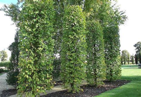 Linde Garten Pflanzen by Sichtschutz Pflanzen Hochwachsend S 228 Ulenformen Verwenden