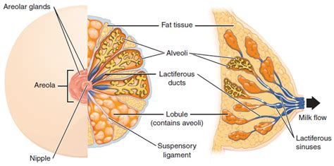 diagram of the breast image gallery lactiferous duct