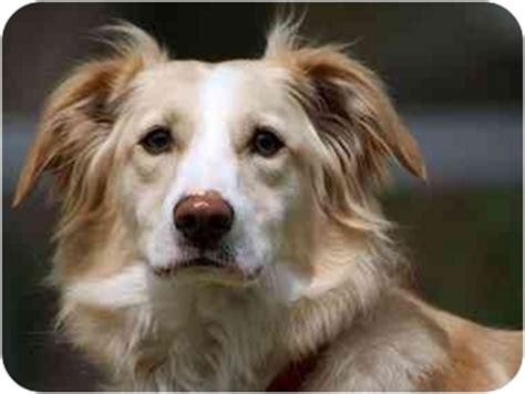 border collie golden retriever mix adoption border terrier golden retriever mix dogs for adoption breeds picture