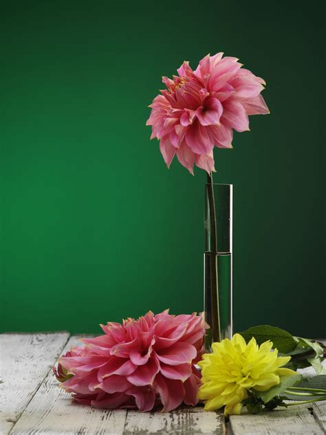 interesting facts  dahlia flowers
