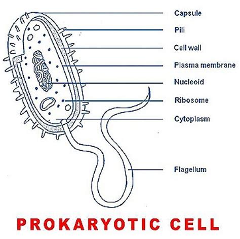 prokaryote diagram basic structure of a prokaryotic cell