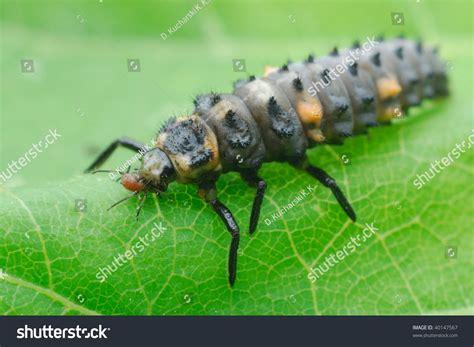 do aphids bite ladybug larvae aphids www pixshark images