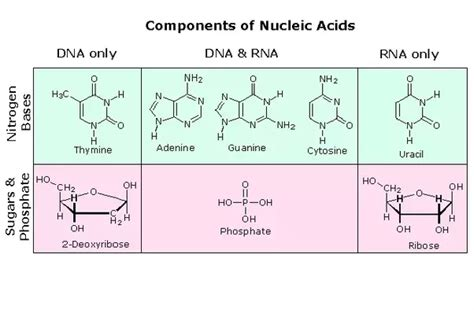 how many main sections make up the sonata form what are the monomers of dna and rna quora