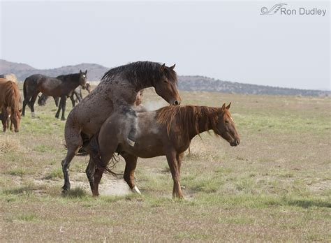 image gallery horse mating