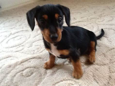 dachshund puppies for sale in illinois miniature dachshund puppies for sale wisconsin breeds picture