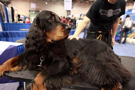 gordon setter dog club gordon setter dog breed information all about dogs