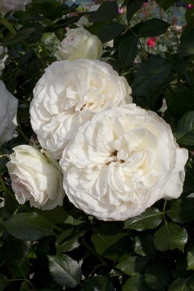 white meidiland gc  root rosa landscapegroundcover