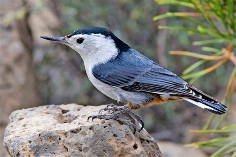 file white breasted nuthatch jpg wikipedia