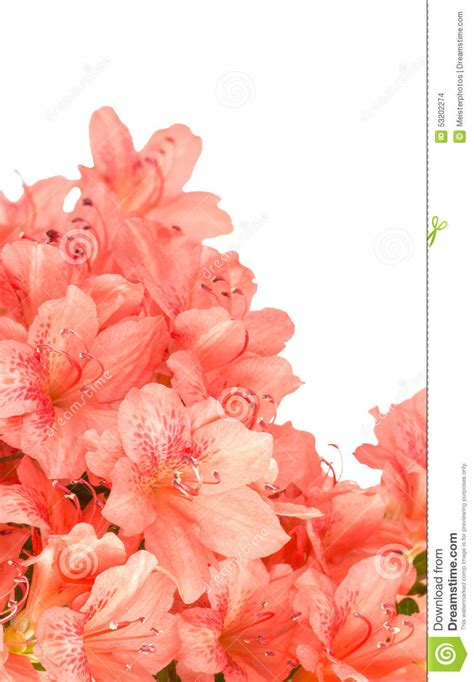 salmon colored flowers background coral azalea blooms on white stock photo image 53202274