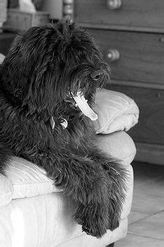 1000+ ideas about Bouvier Des Flandres on Pinterest | Dog